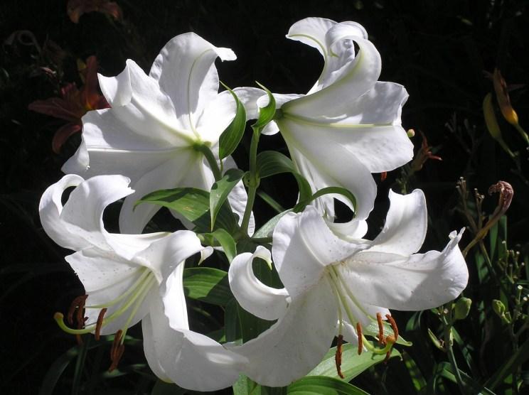 Lilys in Member's Mom's Garden