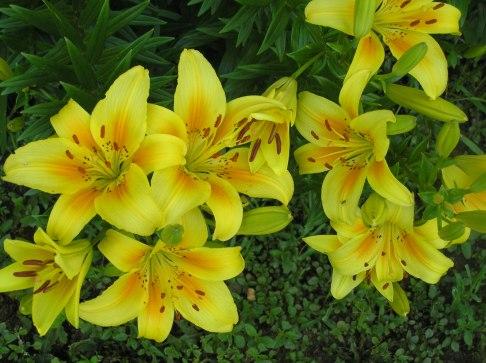 Lilys in Member Garden