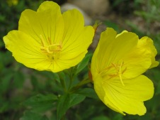 Buttercups in Member Garden